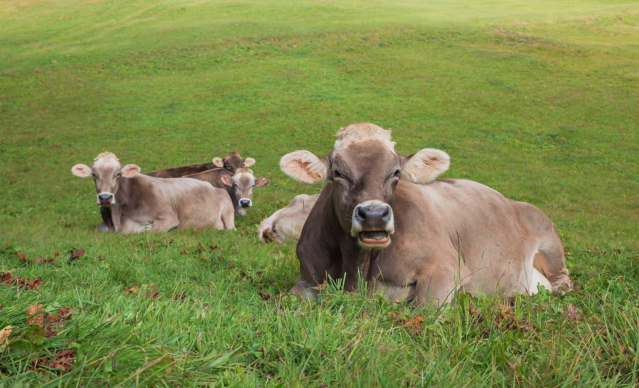 Braunvieh - Alpenvieh.com - alpine livestock trading